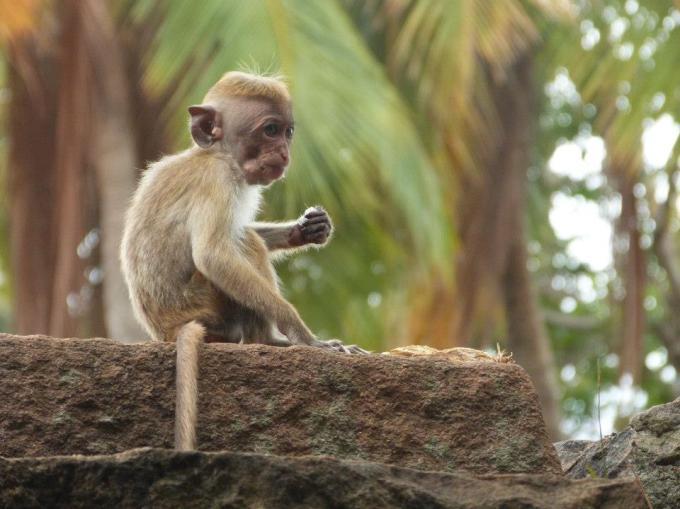monkey-baby