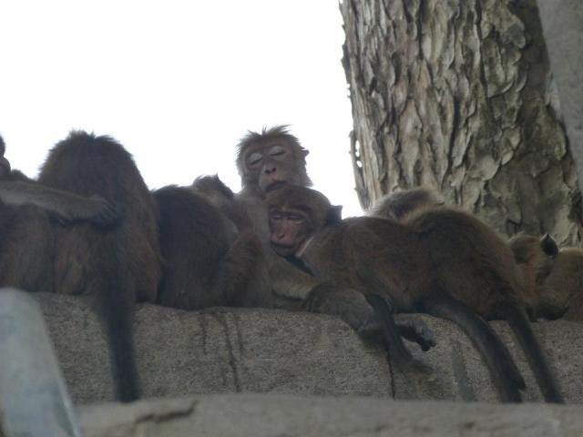 sleeping-monkeys