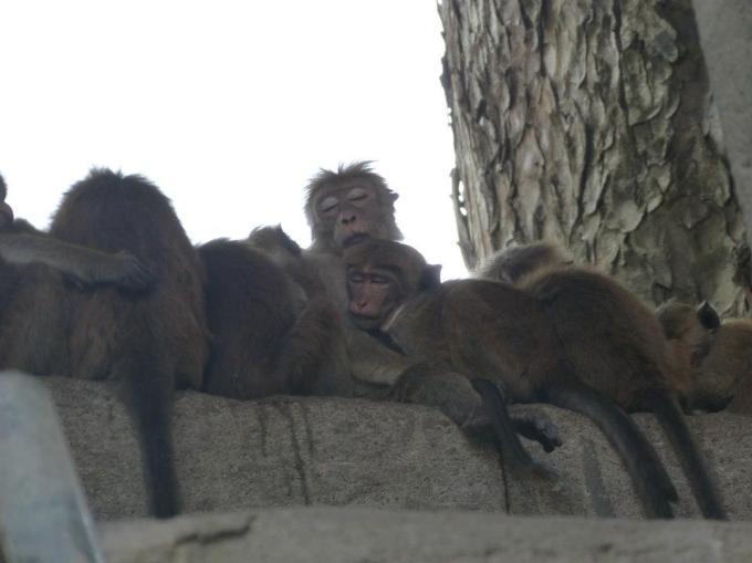 sleeping-monkeys