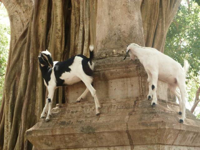 temple-goats